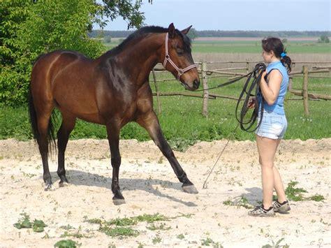 doma de caballos a la doma caballo ucraniano im 225 genes y fotos