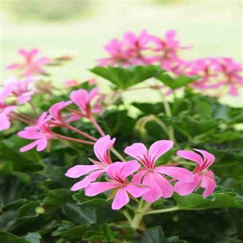 growing scented geraniums indoors gardening mother