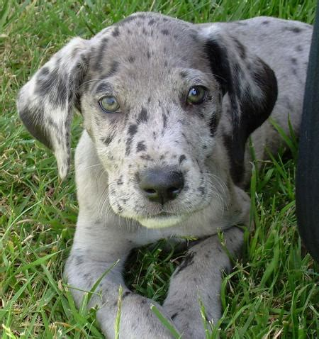 spotted great dane puppy spotted great dane puppy image search results
