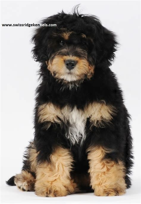 bernese mountain and poodle 71 best images about bernedoodle on poodles poodle mix and bernese