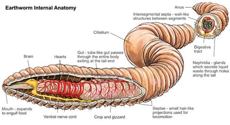 diagram of earthworm gizzard earthworm anatomy in detail anatomy note