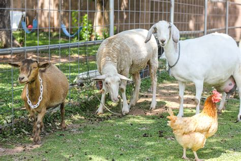 can i have goats in my backyard how much space do you need to raise goats weed em reap