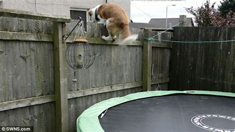 how to keep from jumping fence learns to bounce on troline to escape garden and follow owner daily mail