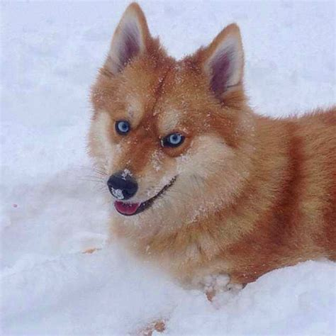 pomeranian husky mix pictures this pomeranian husky mix is the pet fox you always wanted