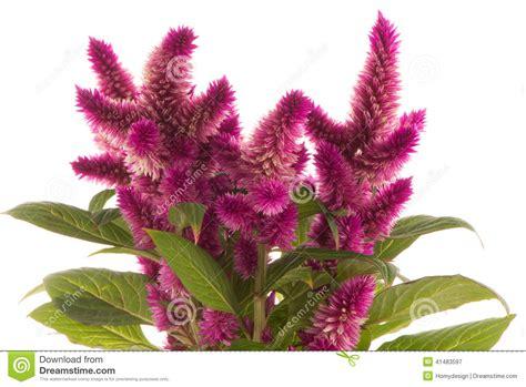 fiori creste di gallo pianta di spicata di celosia della cresta di gallo