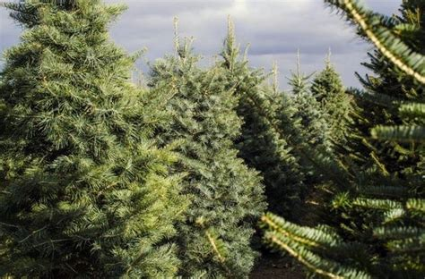 8 varieties of michigan grown christmas trees mlive com