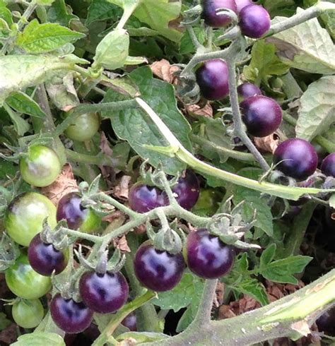 Tomato Purple Seeds blue berries tomato seeds