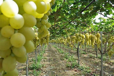 Jual Bibit Pohon Okra jual tanaman anggur hijau belgia bibit