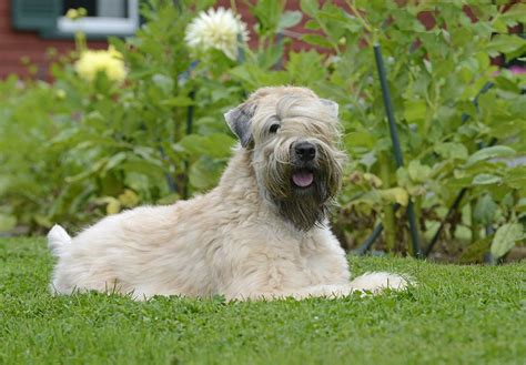 soft coat wheaten terrier puppies soft coated wheaten terrier puppies for sale akc puppyfinder