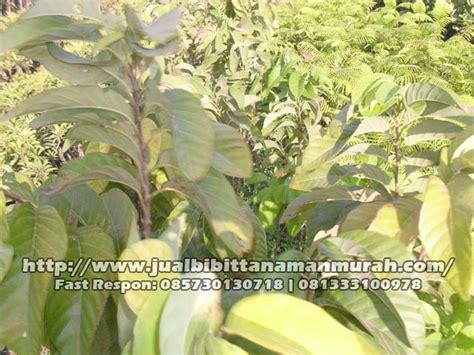 Bibit Bunga Matahari Jumbo surikaya jumbo mulai rp 20 000 an agro bibit id