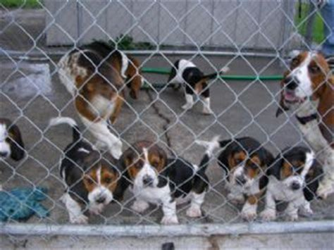 basset puppies for sale basset hound puppies for sale