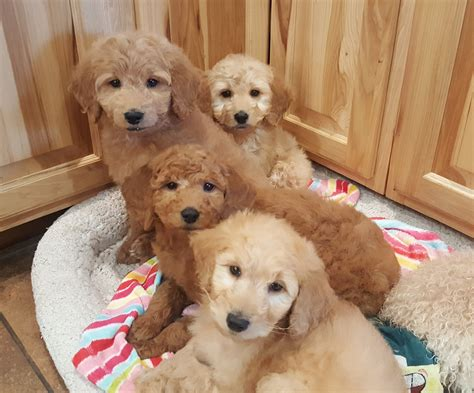 puppies for sale in wausau wi goldendoodle puppies for sale wausau wi 189910