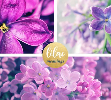 lilac flower meaning image gallery lilac color meaning