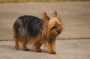 teacup yorkie dogs 101 dogs 101 terrier best breed facts animal facts animal facts
