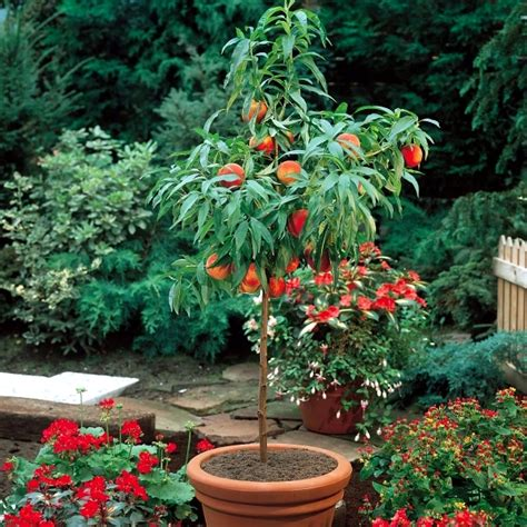 Patio Trees In Pots by You Can Fruit Trees In Pots And Growing Trays On The