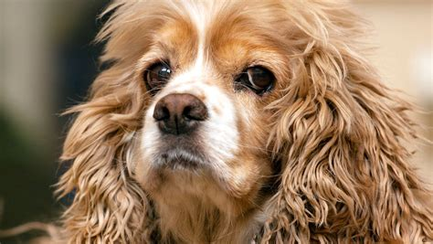5 Things to Know About American Cocker Spaniels   Petful
