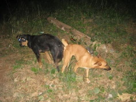 dogs stuck together dogs mating stuck together