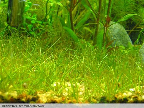 Hair Grass Aquascape by Nature Aquariums Aquascapes Of Samit Roy Hair Grass