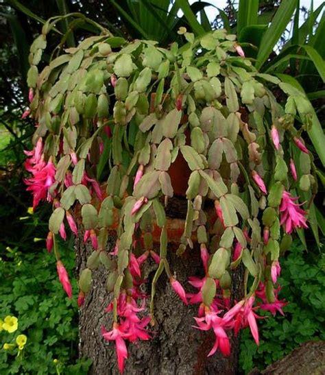 cactus fioriti c di cactus fiorito d appartamento di natale o di
