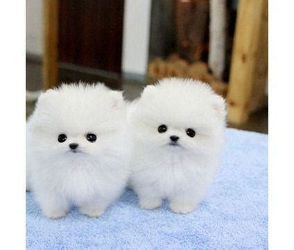 white teacup pomeranian for sale white and teacup pomeranian puppies for sale durbanville ads