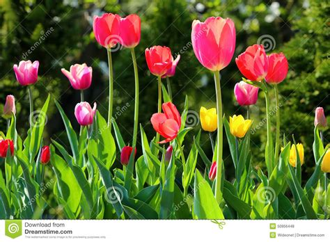 colorful tulips in the garden in spring stock photo image 50956448