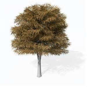 european trees xfrog trees cutleaf european beech