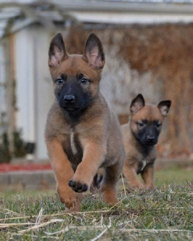 german malinois puppy belgian malinois info temperment care puppies pictures