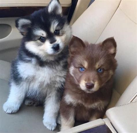 brown and white husky puppy dogs white and brown breeds picture