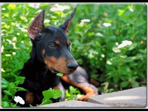 doberman pinscher puppies for sale in ga doberman pinscher puppies dogs for sale in albany county ga alpharetta