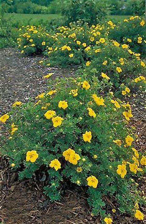 low growing flowering shrubs potentilla gold low growing deciduous flowering