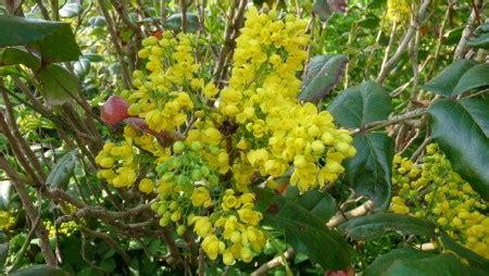 yellow flowered shrub yellow flowering shrub