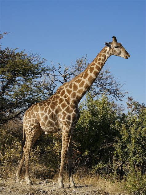 imagenes jirafas giraffa camelopardalis wikipedia la enciclopedia libre