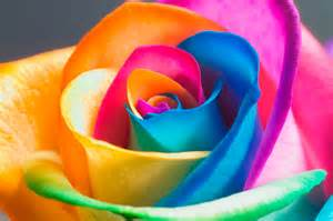 different colored roses how to make your own rainbow roses diply