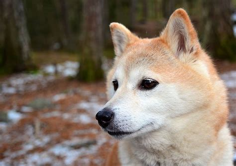 all about the shiba inu shiba inu breed information pictures characteristics