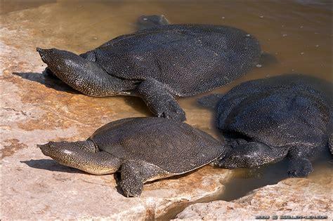 nile softshell turtle reptiles pinterest softshell and turtles