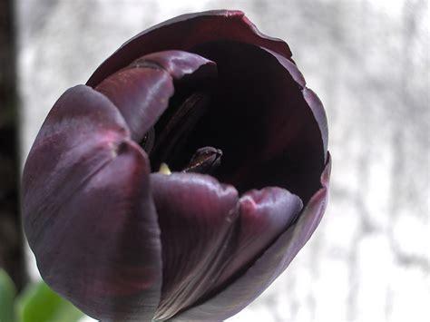 tulipano nero fiore il posto dei tulipani neri senigallia notizie