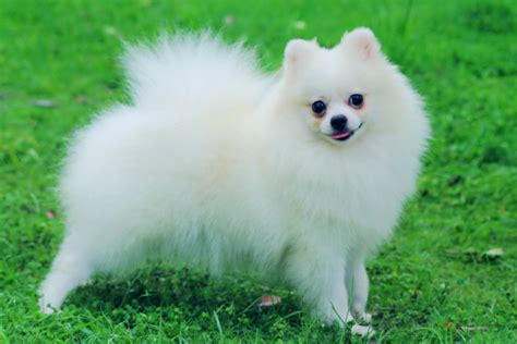 pomeranian puppies cost pomeranian puppies best images collections hd for gadget windows mac android