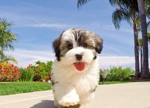 havanese rescue san diego teacup havanese pictures to pin on pinsdaddy