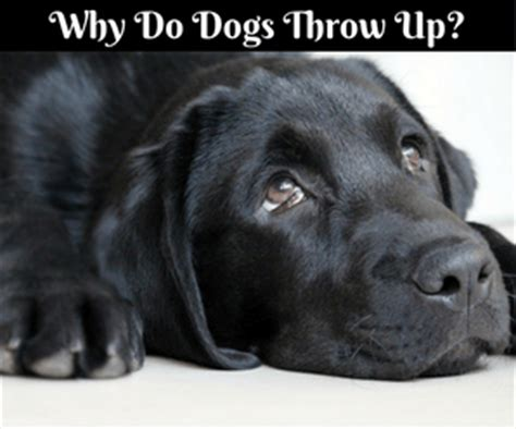 why do dogs throw up doggie demeanor understanding your s behavior