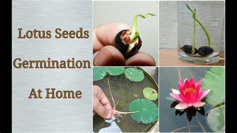 searching for tough seed to combat the harsh agro climate merging dna technology with farmersã indigenous knowledge ã s agriculture narratives books lotus germination at home easy process step by step