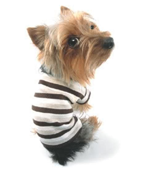 should i get a yorkie should i keep my yorkie yorkie everyday with yorkies terrier