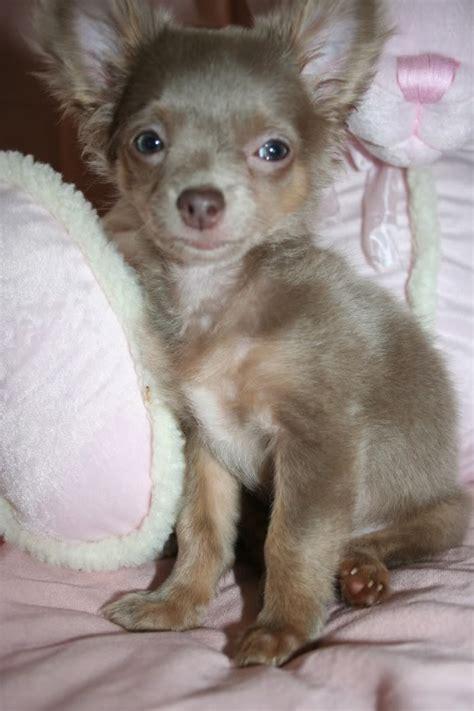 pomeranian puppy uglies puppy uglies 6 cool pomeranian puppy uglies biological