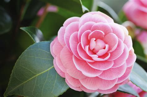 Plant Home Decor by January Plant Of The Month Camellia Powerscourt Garden