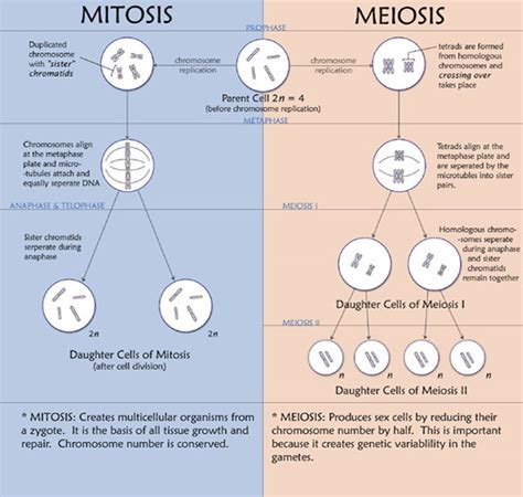 meiosis vs mitosis venn diagram chromosome pmg biology