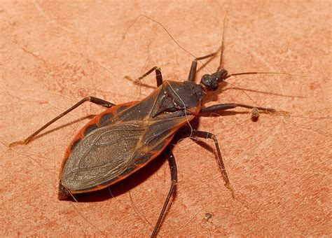 can bed bugs carry diseases chagas disease in dogs on the rise in the south