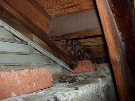 bats in attic md