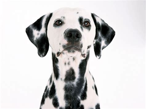 dalmatian dogs dalmations images dalmatian hd wallpaper and background photos 13768000