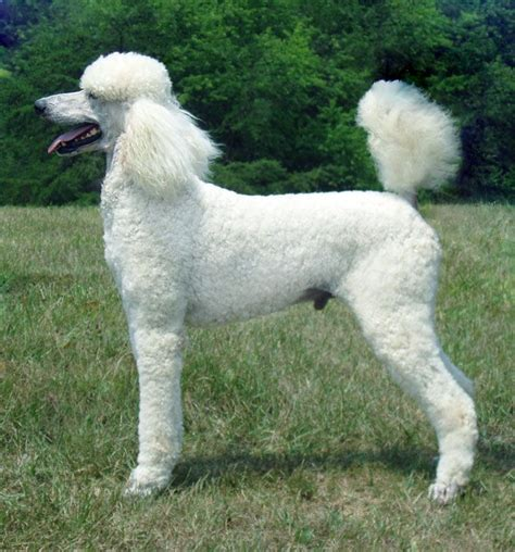 poodle lifespan standard poodle poodles everything you need to about the breed