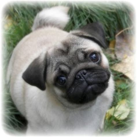 pug breeders in bc caillet pugs pug breeder in chilliwack columbia