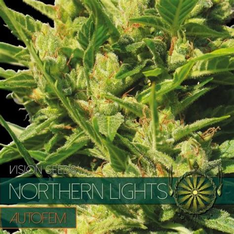 30 50 177 120 Gr M2 Archives Vision Seeds Northern Lights Outdoor Yield